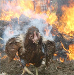 MeepClan - Page 8 Burning-chicken