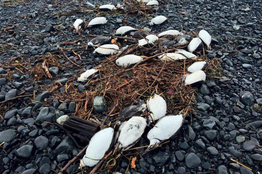 Dead Murre Birds, Alaska 1/5/2016