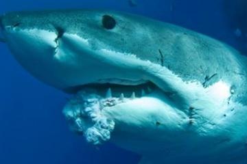 Pacific Great White Shark Tumor