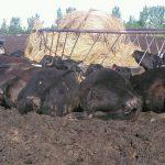 Lightning Kills 21 Cows