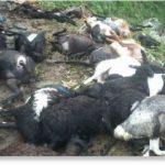 Lightning Kills 120 Sheep