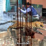 2014-LeopardInMeerut,India