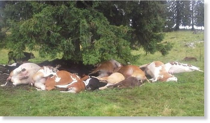 18 cattle killed by lightning, Austria
