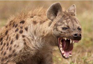 hyena_photograph