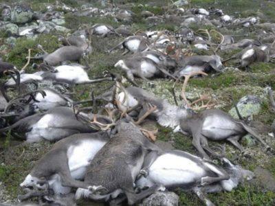 300+ reindeer killed by lightning in Norway