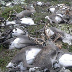 Sudden Herd Deaths